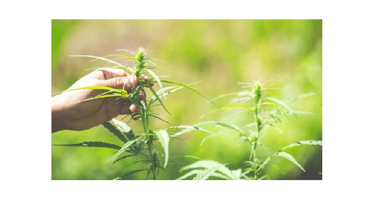 5 mythes sur le cannabis à fort taux de CBD 1